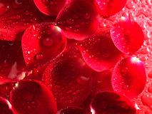 Rose flower petals Stock Image