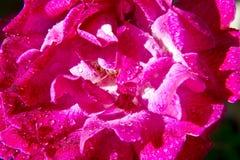 Rose Flower Petals rosada Imagen de archivo libre de regalías