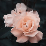 Rose Flower Royalty Free Stock Images
