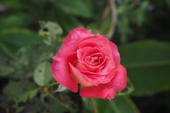 Rose. Flower  Pink Stock Photo