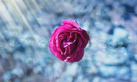 Rose, Flower, Pink, Flowers Royalty Free Stock Photography