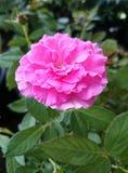 Rose. Flower pink fresh beautiful royalty free stock photos