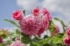 Rose flower pink. Summer in the garden of a beautiful fragrant rose flower with green leaves against a blue sky background royalty free stock photos