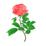 Rose flower pink  on a white background vintage vector Stock Photos
