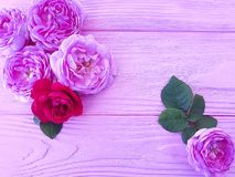 Rose flower on pink wooden background. Holiday royalty free stock photography