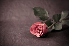 Rose flower placed on black stone Stock Photo