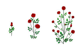 Rose flower plant. Illustration rose flowers plant white background Stock Image