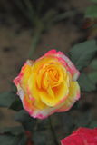 Rose Flower on plants. Royalty Free Stock Images