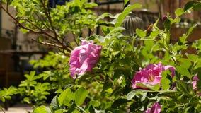 Rose Flower que floresce na luz do sol Arbustos de flores cor-de-rosa do óleo cor-de-rosa em um jardim Chá Rosa 4K vídeos de arquivo