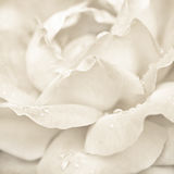 Rose flower with rain drops Royalty Free Stock Images