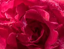 Rose Flower Petals stock images