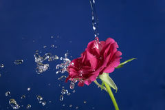 Rose flower in the rain,  drops of water shining Stock Images