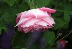 Rose flower during rain. Petals sprinkled with rain drops. A gloomy day in a country house garden Stock Image
