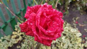 Rose flower with raindrops. Autumn background Stock Photo