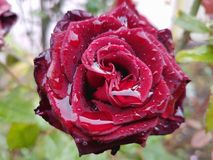 Rose flower with raindrops. Autumn background Royalty Free Stock Images
