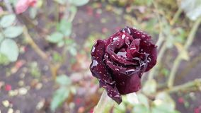 Rose flower with raindrops. Autumn background Royalty Free Stock Photo