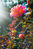 Rose flower in rays of sunset Stock Images