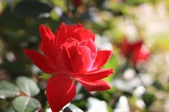 Rose flower. Red rose flower, as background stock images