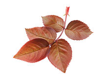 Rose flower red leaf Stock Photography