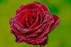 Rose, Flower, Red Rose, Red, Plant Royalty Free Stock Photography
