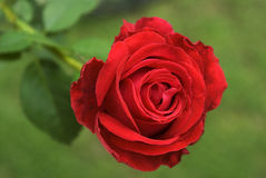 Rose flower. Flower-Red Rose The rose is a type of flowering shrub belong to the family of plants called Rosaceae- Thiruvananthapuram,Kerala,India Stock Photo