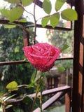Rose Flower RedFlower Love Window royalty free stock photography