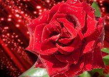 Rose Flower Rose, Rosa Beau simple s'est levé Roses rouges fraîches dans un bouquet comme fond Image libre de droits