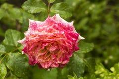 Rose Flower rosa nel giardino di estate nelle gocce di pioggia Fotografie Stock Libere da Diritti