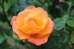 Rose, Flower, Rose Family, Floribunda Stock Photography
