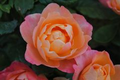 Rose, Flower, Rose Family, Floribunda Royalty Free Stock Photos