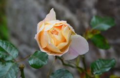 Rose, Flower, Rose Family, Flowering Plant royalty free stock photos