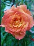 Rose, Flower, Rose Family, Garden Roses Royalty Free Stock Photo