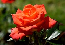 Rose, Flower, Rose Family, Garden Roses Stock Photography