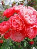 Rose, Flower, Rose Family, Garden Roses