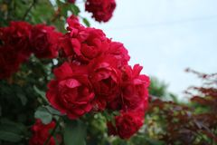 Rose, Flower, Rose Family, Garden Roses royalty free stock photo