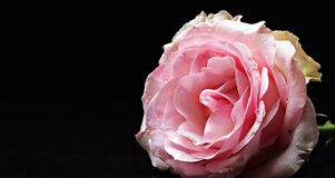 Rose, Flower, Rose Family, Pink stock image
