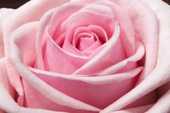 Rose, Flower, Rose Family, Pink Royalty Free Stock Photography