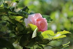 Rose, Flower, Rose Family, Plant royalty free stock image