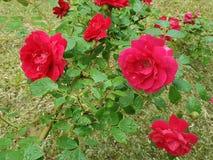 Rose, Flower, Rose Family, Plant