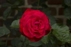 Rose, Flower, Rose Family, Red stock photography