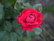 Rose, Flower, Rose Family, Red royalty free stock photos