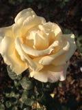 Rose flower, stock images