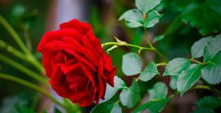 Rose Flower Rose rouge dans le jardin Photographie stock