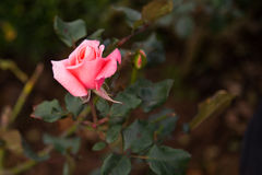 Rose flower on rose tree. royalty free stock image