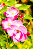Rose flower in the royal flora , chiangmai province Thailand Royalty Free Stock Photos