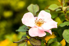 Rose flower in the royal flora , chiangmai province Thailand Stock Image