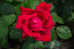 Rose flower. Scarlet flower of a rose after a rain with water drops Stock Photo