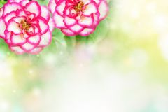 Rose flower in soft pastel tone romance background Royalty Free Stock Photos