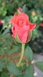 Rose. Flower tree love fresh royalty free stock image