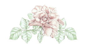 Rose flower twig Stock Images